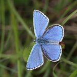 Yoesden Biodiversity Opportunity Area Adonis Blue Colin Williams