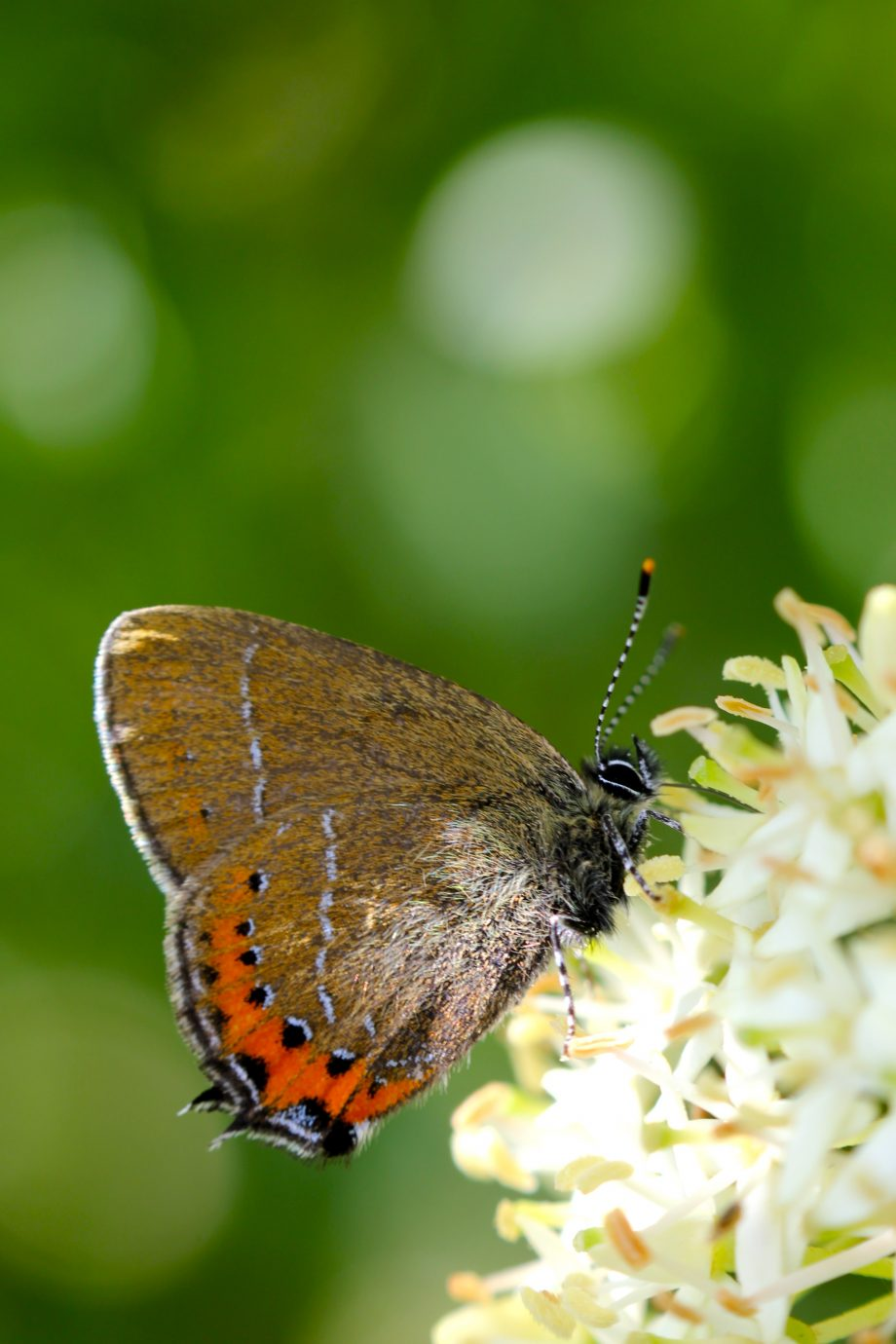 Black Hairstreak butterfly (photo: Tim Read)