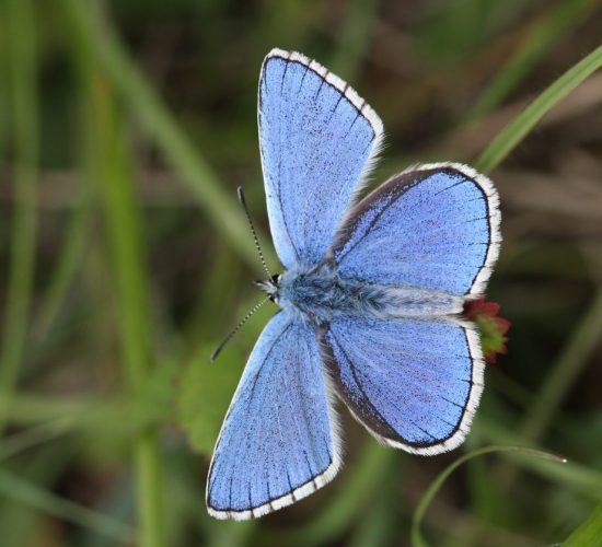 Yoesden Biodiversity Opportunity Area Adonis Blue Colin Williams