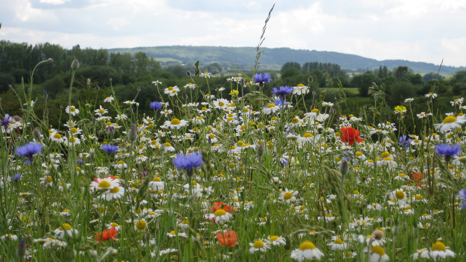 College Lake Arable Weeds Project (Photograph: Wendy Tobitt)