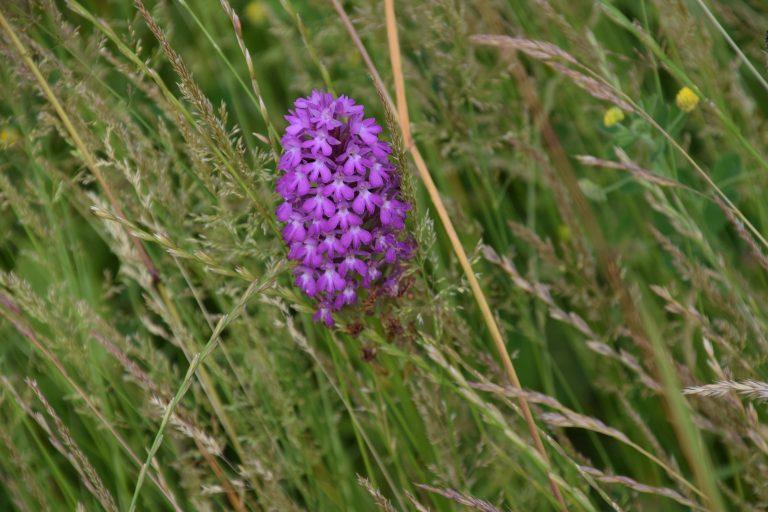 Pitstone Orchids Castlemead (Bucks Buzzing)