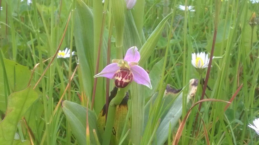 Pitstone Bee Orchids Castlemead (Bucks Buzzing)