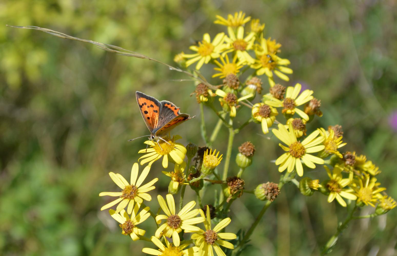 Bucks Buzzing Chiltern Rangers Urban Mini Meadows Butterfly