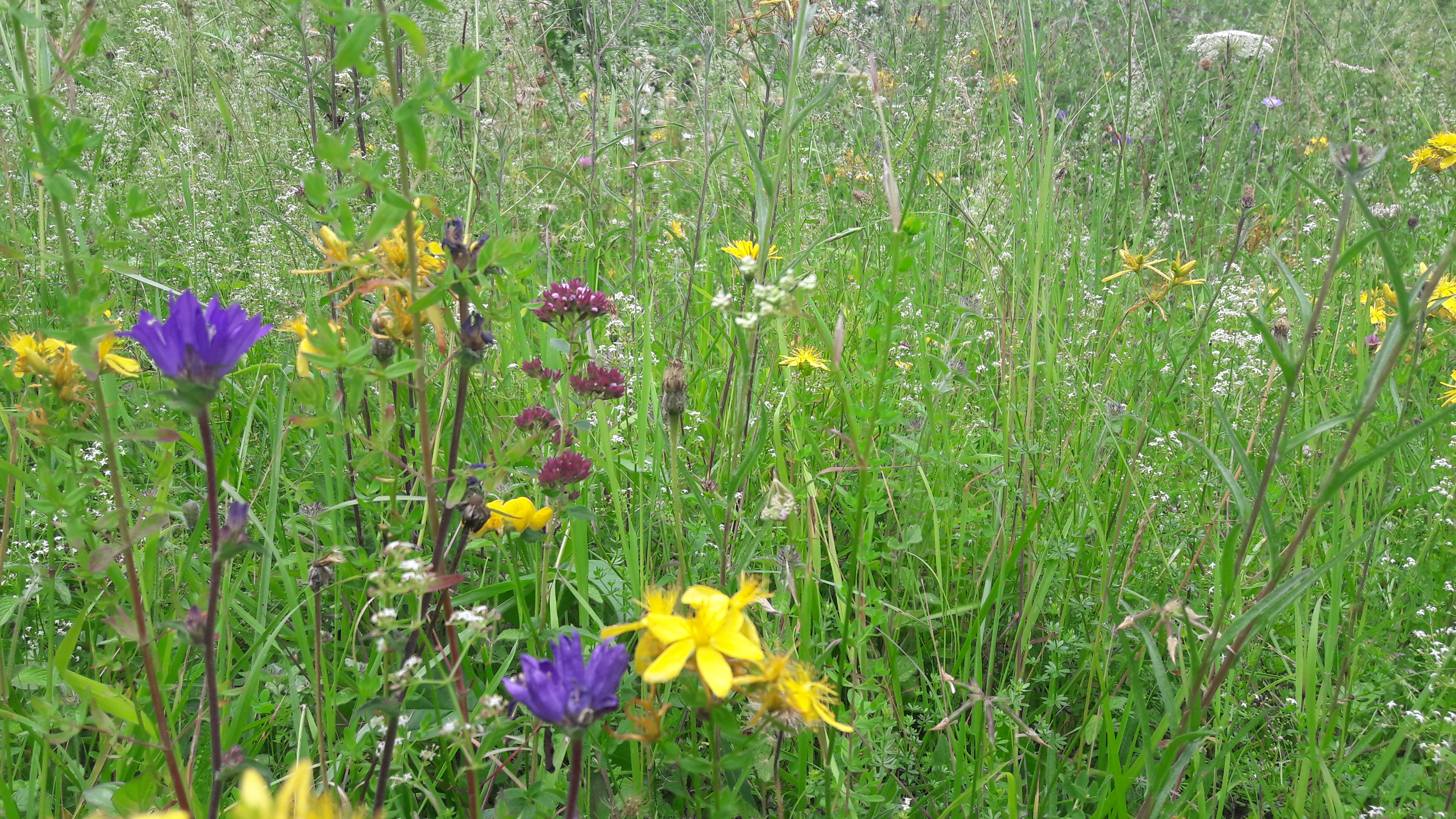 Wildflowers Buckinghamshire