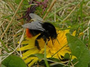 Chesham Town Council Red-tailed Bumblebee
