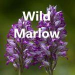 Wild Marlow logo