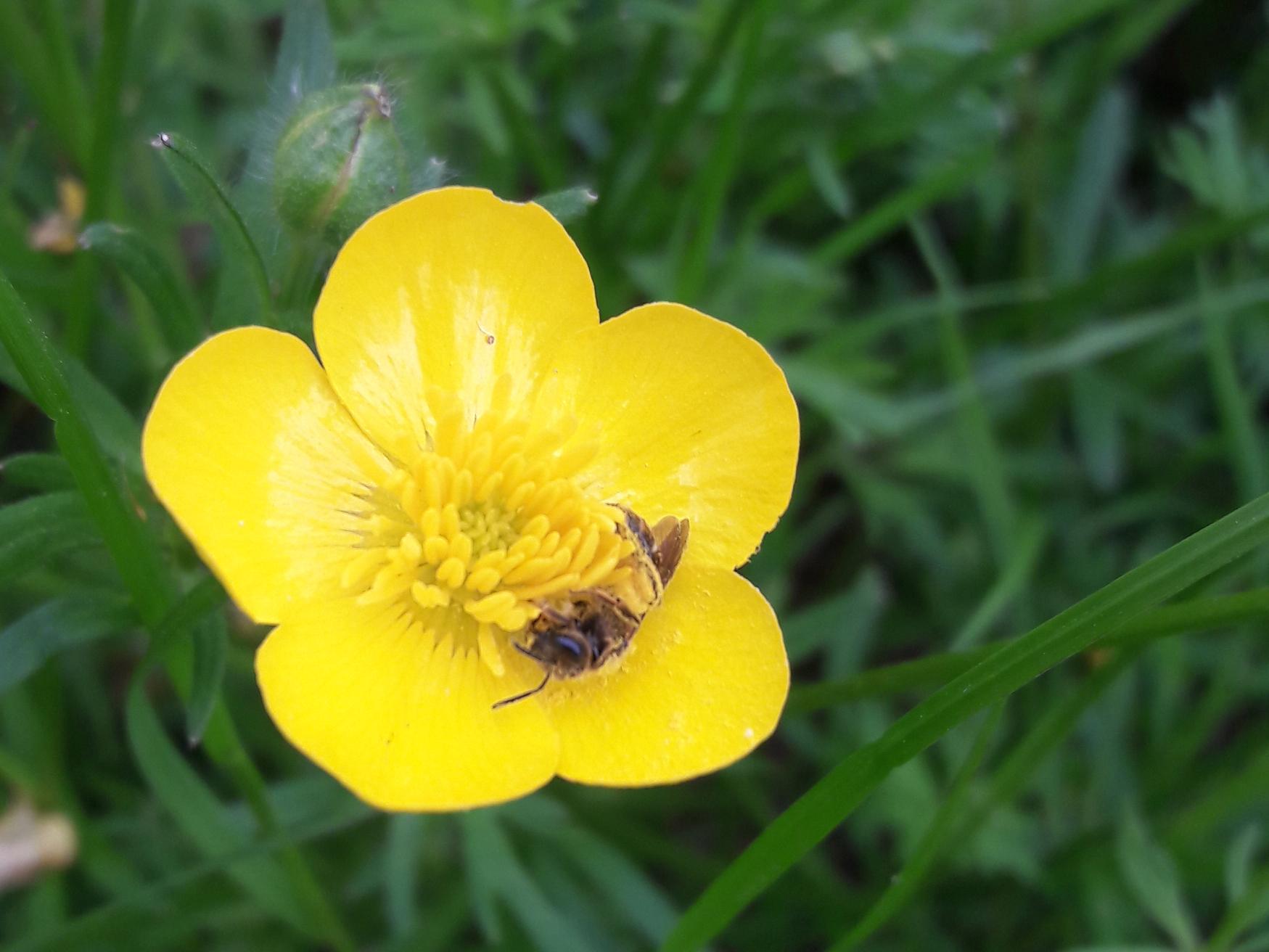 Bucks Buzzing solitary bee buttercup